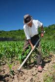 Stary człowiek pielenie pola kukurydzy — Zdjęcie stockowe