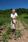 Senior ländliche frau in das maisfeld — Stockfoto