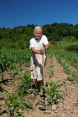 Senior rural woman in the corn field — Stockfoto