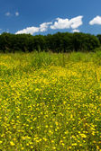 Small celandine field (Ficaria Ranunculoides) — Stock Photo