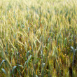Wheat field closeup — Stock Photo #11538304