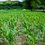 Corn field — Stock Photo #11538305