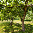 Unripe apples in the trees - Stock Photo