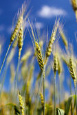 Wheat field closeup — Stock Photo