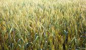 Wheat field closeup — Stock Photo