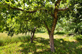 Unripe apples in the trees — Stock Photo