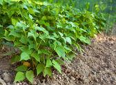 Dicke bohnen pflanzen — Stockfoto