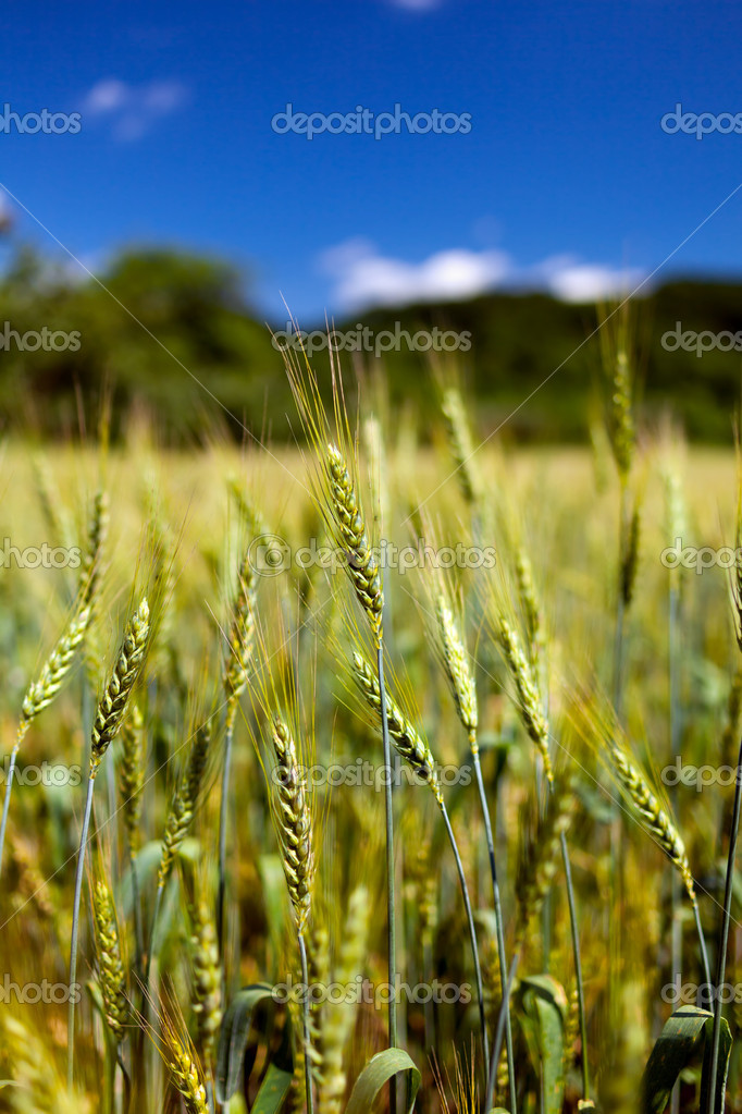 Wheat ears against blue sky with selective focus — Stock Photo #11538256