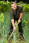 Gardener in an onion field, weeding — Stock Photo
