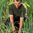 Gardener in onion field, weeding — Stockfoto #11688745