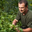 Farmer near a field of broad beans plants - Stockfoto
