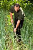 Gardener in an onion field, weeding — Stock Photo
