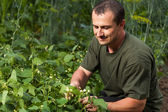Farmer near a field of broad beans plants — Stock Photo