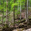 Old beech forest - Stock Photo