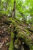 Raízes de uma antiga floresta — Foto Stock