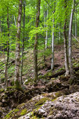 Old beech forest — Stock Photo