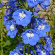 Stock Photo: Blue delphinium