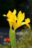 Yellow iris — Stock Photo