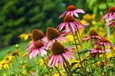 Echinacea viola — Foto Stock