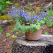 Blue forget-me-nots — Stock Photo