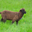 Brown woolly sheep — Stock Photo