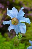 Papoula azul do himalaia — Fotografia Stock