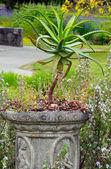 Aloë cactus plant — Stockfoto