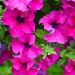 Beautiful pink petunias — Stock Photo