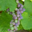 Concord grapes — Stock Photo