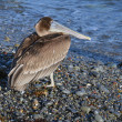 Brown pelican - Foto de Stock