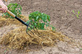 Garden fork and straw — Stock Photo