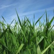 Beautiful green grass under blue sky — Stock Photo
