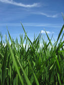 Beautiful green grass under blue sky — Stock Photo