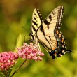 Eastern tiger swallowtail butterfly — Stock Photo #11592007