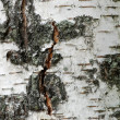 Stock Photo: White birch tree