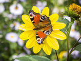 Butterfly Inachis Io — Stock Photo