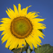 Sunflower — Stock Photo #11835809