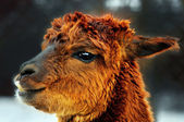 Brown alpaca portrait — Stock Photo