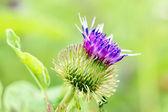 Thistle purple flower — Stock Photo
