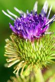 Makro květ bodláku — Stock fotografie