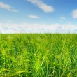 Green barley field and blue sky — Stock Photo