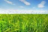 Green barley field and blue sky — Stock Photo