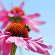Bumblebee on coneflower — Stock Photo