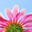 Under a coneflower and sky - Stockfoto