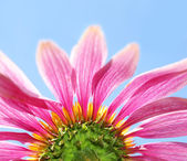 Under a coneflower and sky — Stock Photo