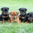 Постер, плакат: The Miniature Pinscher puppies