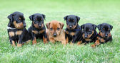 De dwergpinscher puppies — Stockfoto