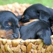 Stock Photo: Miniature Pinscher puppies, 1 months old