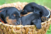 The Miniature Pinscher puppies, 1 months old — Zdjęcie stockowe