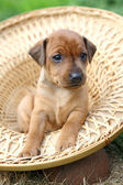 The Miniature Pinscher puppy, 1 months old — Stock Photo
